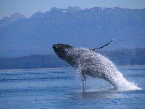 Breaching_Whale-300x225