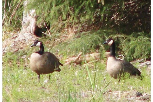canada_geese