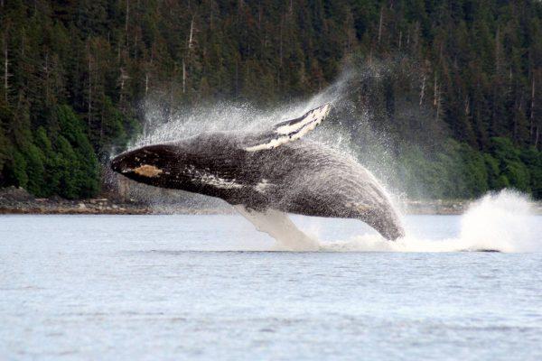 Humback Whale-Breaching3