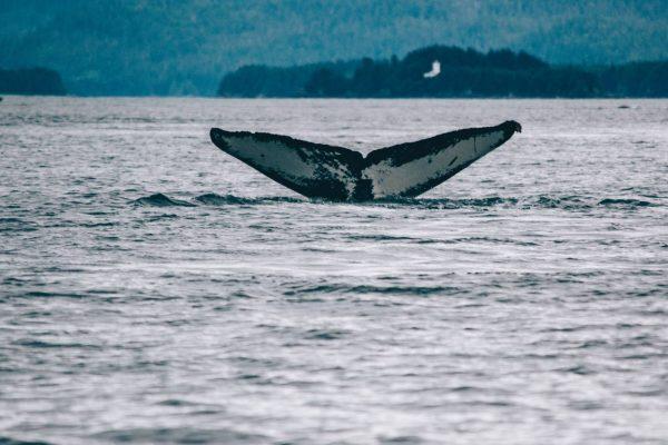 humpback whale5